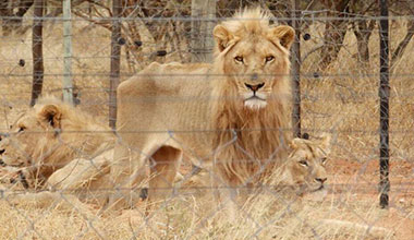 SAPA deeply concerned over state of malnourished lions in Limpopo