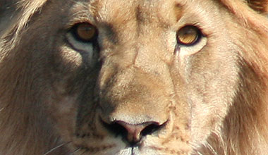 SAPA offers their support to save Sylvester the Lion