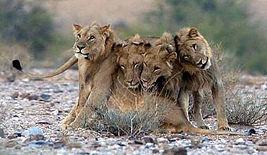 Three desert lions killed in the Kunene Region